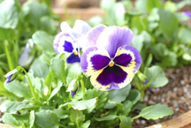 pansies2.jpg